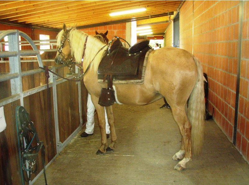 Aufwändige Ausrüstung, elegante Pferde, südamerikanische Musik: Show und Sport erwarten die Besucher der Paso Peruanos im August