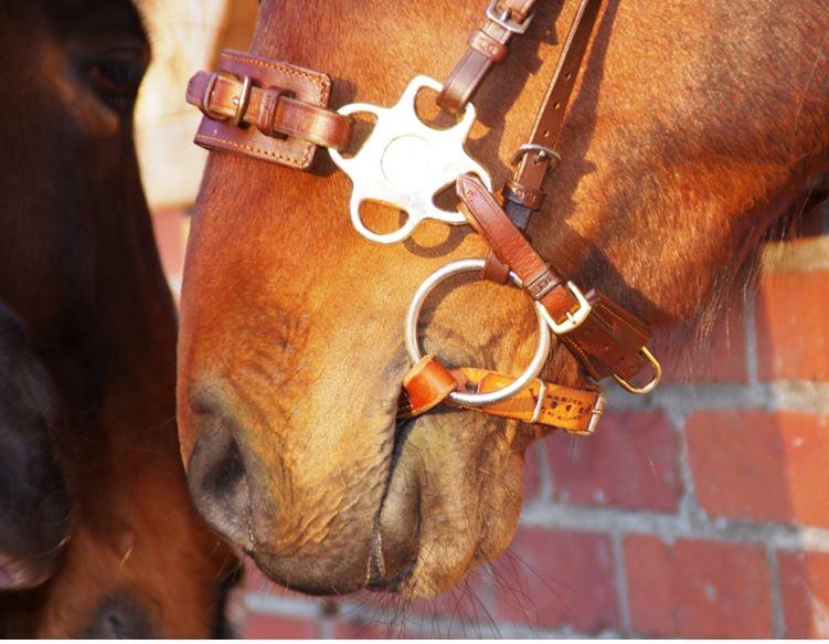 Dieses Pferd trägt eine kombinierte Zäumung aus Ledergebiss mit einer minimal hebelnden mechanischen Hackamore. Diese Hackamore-Variante könnte auch durch einschnallen des Zügels im Kinnring ganz ohne Hebelmechanik genutzt werden.
