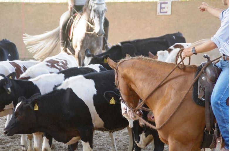 Junges Glück: Rind gibt Quarter Horse Küsschen…