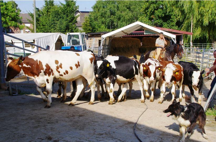 Rinder auf dem Weg zum Dienst