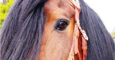 ganaschenriemen-schützt-das-auge-des-pferdes-bei-gebisslosem-zaum