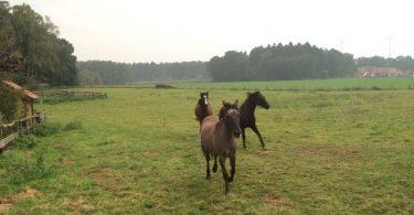 pferdeseite-tv-pferde-hoeren-auf-pfiff-oder-zuruf-02