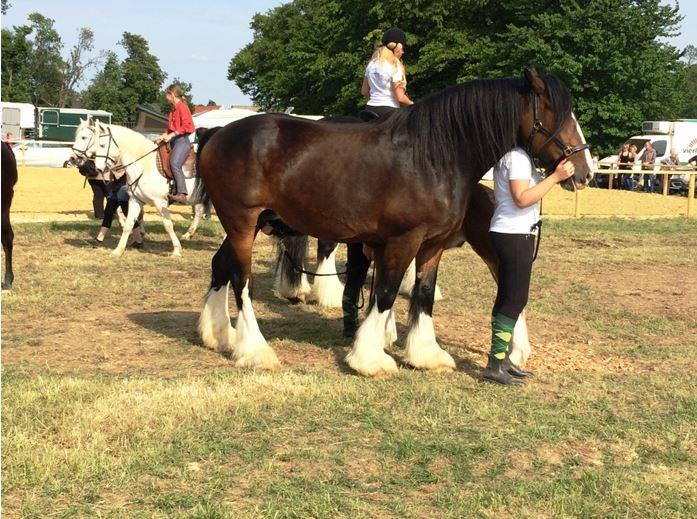 Gigantisches Shire Horse mit federigem Fesselbehang